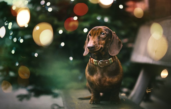 Picture each, holiday, dog, Dachshund