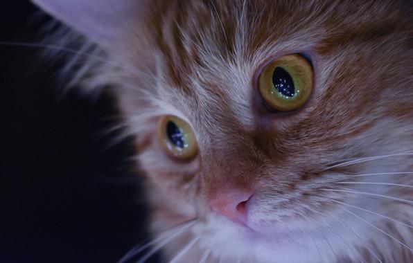 Picture cat, eyes, macro, portrait, muzzle, red