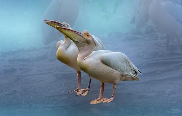 Picture birds, background, pelicans