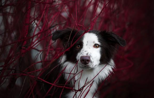 Picture autumn, look, face, branches, portrait, dog, The border collie