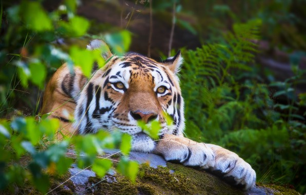 Picture forest, summer, tiger, stay, blur, lies, wild cat, animals, nature, tiger, bokeh, the Amur tiger, …