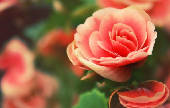 Picture rose, petals, rosebud