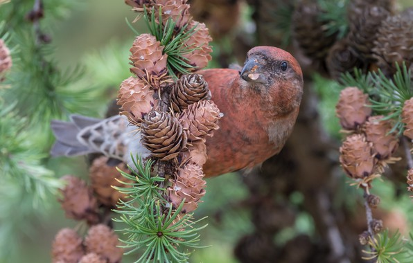 Picture nature, bird, spruce, bumps