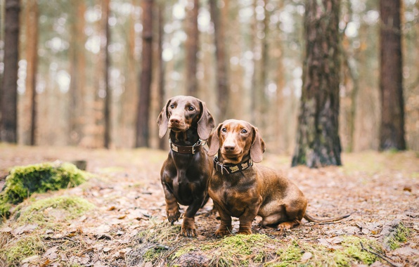 Picture forest, dogs, friends