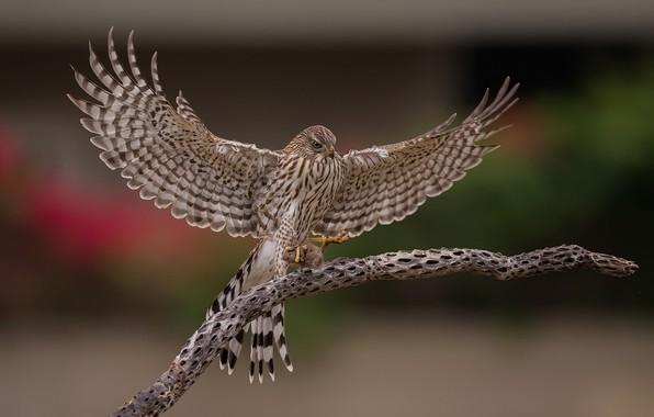 Picture bird, wings, branch, Hawk, mining