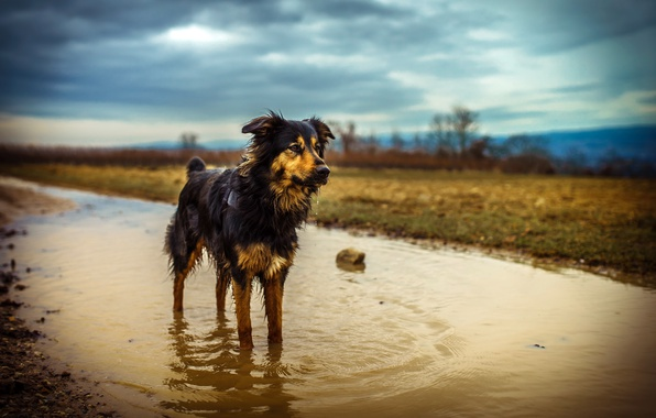 Picture dog, puddle, Australian Shepherd