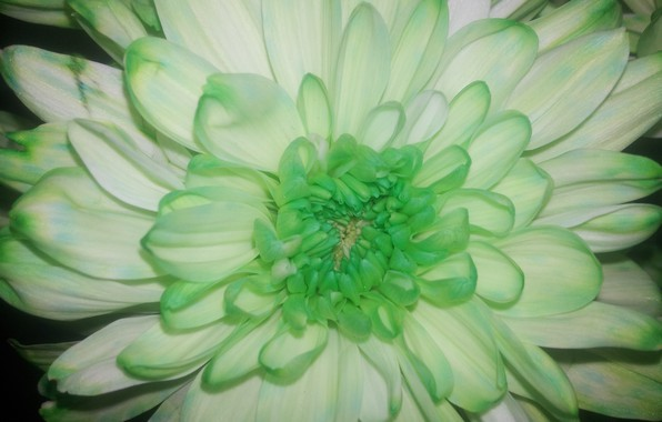 Picture Flower, Petals, Green, Chrysanthemum, The nitty gritty