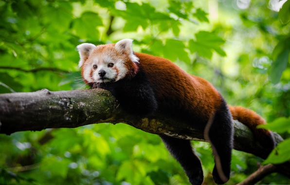 Picture leaves, tree, stay, red Panda, red Panda