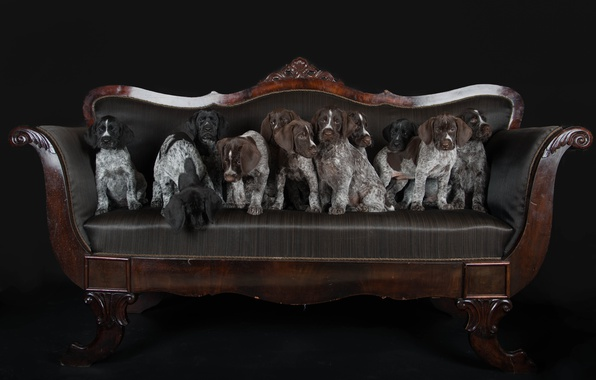 Picture dogs, sofa, puppies, Drathaar, German Wirehaired pointer, football team