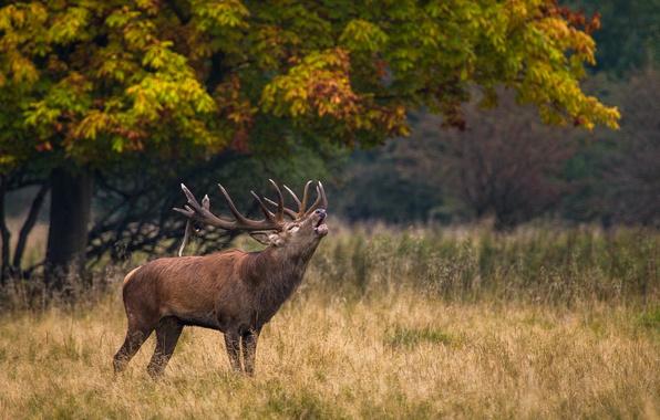Picture nature, deer, horns, call, grass