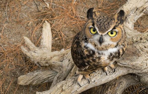 Picture look, owl, bird, snag, eyes, Virgin Filin