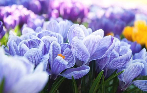 Picture spring, crocuses, flowering, bushes