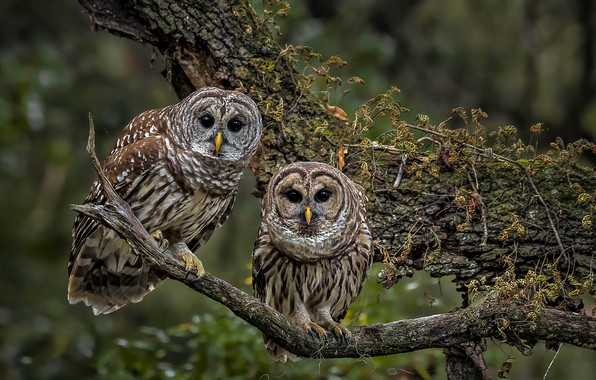 Picture birds, tree, branch, owls, a couple, A barred owl