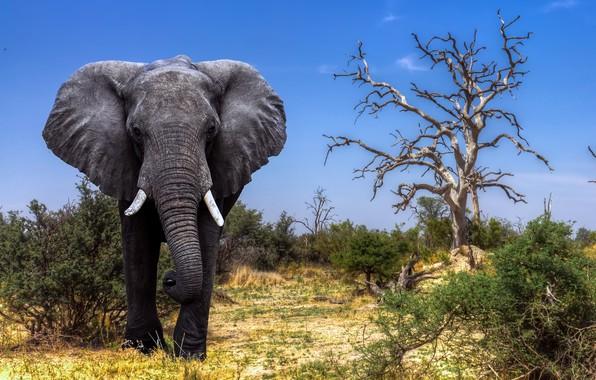 Picture Africa, Elephant, Safari, Botswana, The Okavango Delta