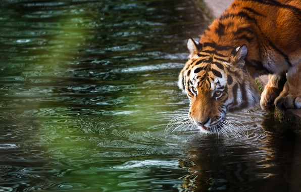 Picture forest, summer, tiger, stay, blur, wild cat, animals, nature, tiger, bokeh, the Amur tiger, amur ...