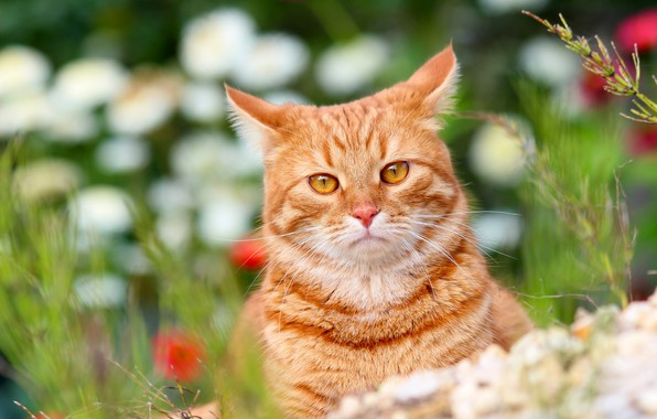 Picture animals, summer, cat, cats, nature, cottage, Pets, red cat, Stepan, Stepan