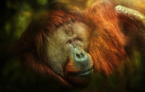 Picture monkey, jungle, Melancholia, orangutan