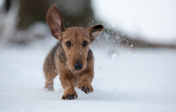 Picture winter, snow, dog, walk