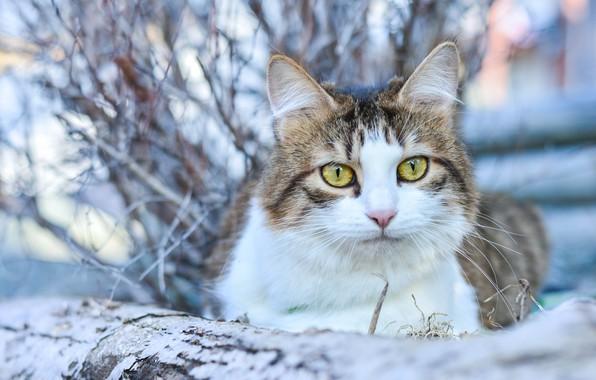 Picture cat, cat, look, bokeh, cat