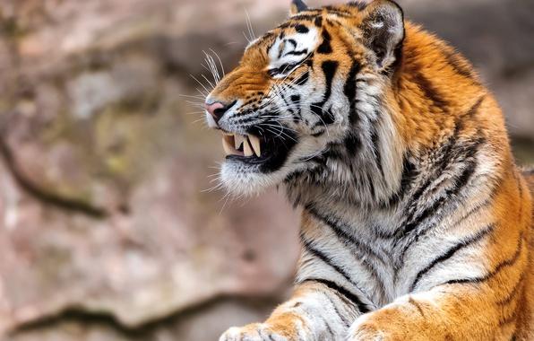 Picture tiger, predator, fangs