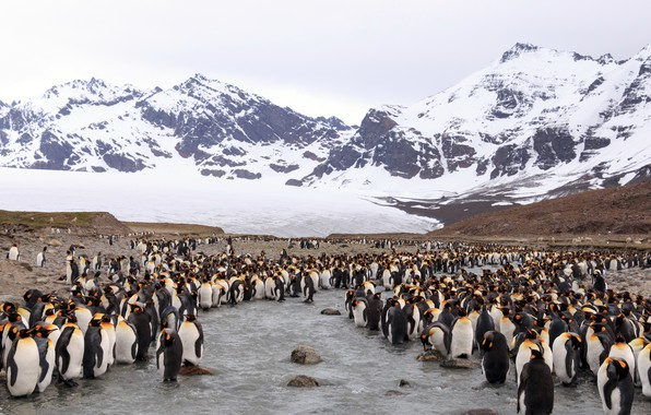 Picture nature, penguins, Antarctica, South Georgia and the South Sandwich Islands