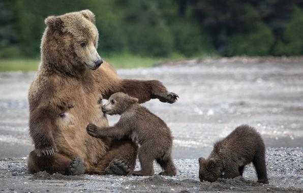 Picture sand, bears, bears, mom, bears, tit, bear