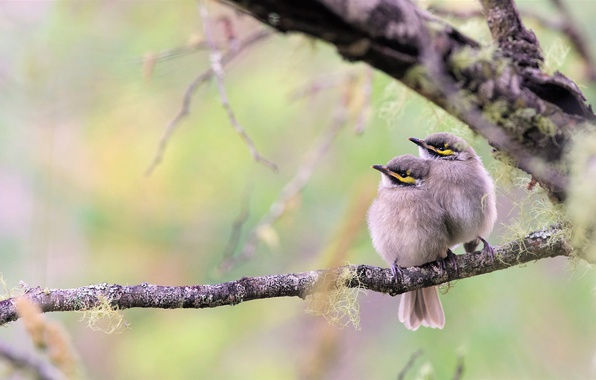 Picture birds, branch, a couple, Chicks, bokeh, Yellow-faced honeyeater