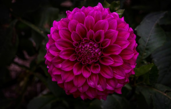 Picture flower, leaves, macro, flowers, the dark background, petals, garden, Dahlia, lush, bright, Terry, dark pink