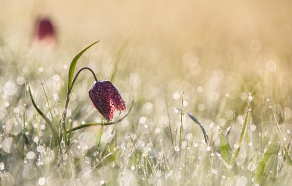 Picture flower, light, glare, spring, morning, bokeh, chess grouse