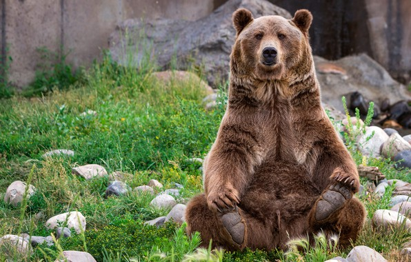 Photo wallpaper grass, face, stones, paws, wool, bear, sitting, posing, brown, important