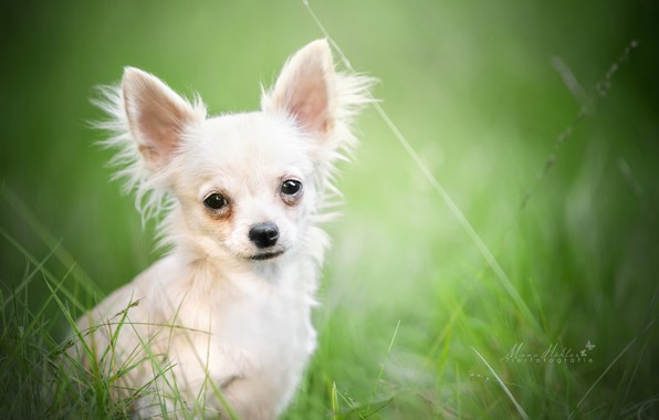 Picture look, portrait, bokeh, doggie, Chihuahua, dog