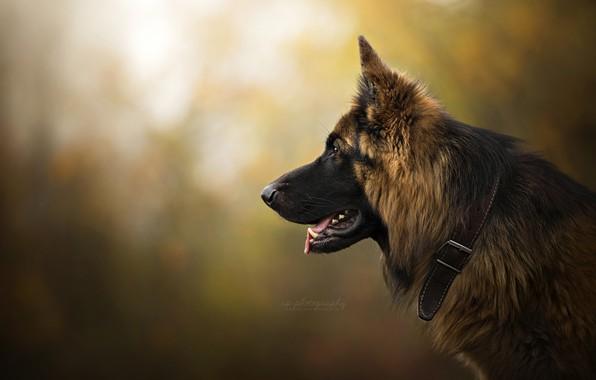 Picture face, background, portrait, dog, profile, collar, bokeh, German shepherd