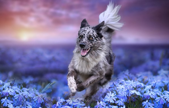 Picture field, flowers, nature, dog, running, dog