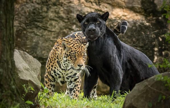 Wallpaper predator, Panther, pair, Jaguar