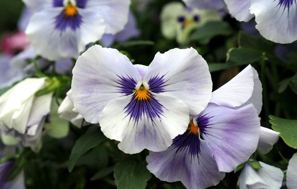 Picture Flowers, Flowers, Pansy, Pansies