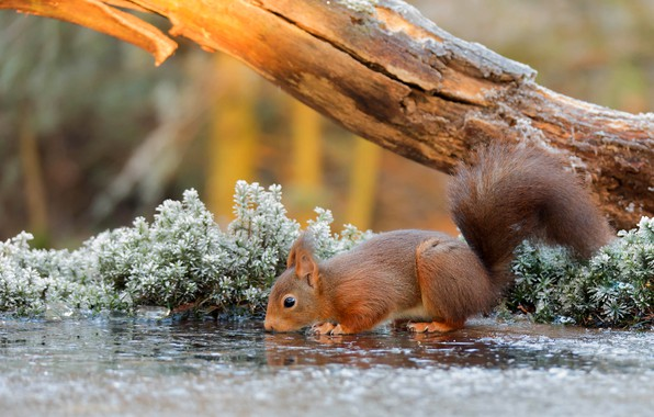 Picture water, nature, pose, background, tree, plants, protein, trunk, red, bark, drink, squirrel, Milota, drinking water