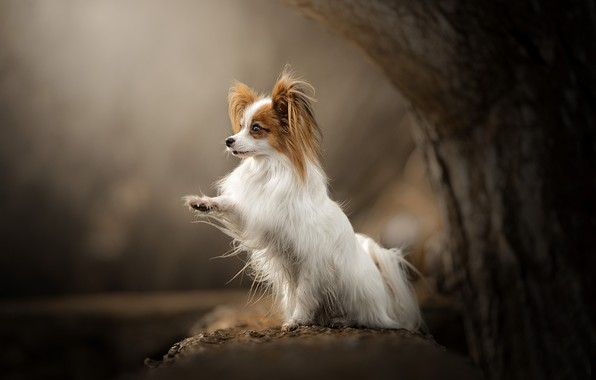 Picture tree, paw, dog, bokeh, Papillon, The continental toy Spaniel