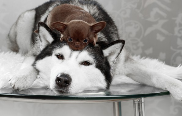 Picture dogs, look, table, puppy, Husky