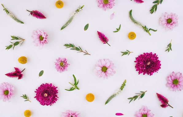 Picture flowers, chrysanthemum, pink, flowers, background, floral