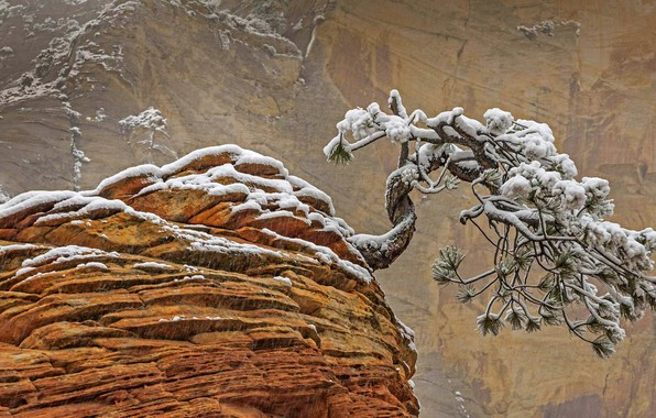 Picture snow, rock, tree, Utah, USA, Zion national Park