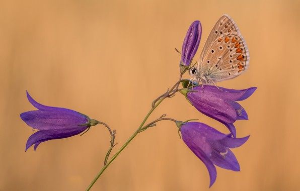 Picture macro, butterfly, bells