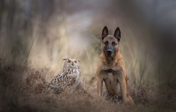 Picture sadness, autumn, forest, animals, grass, nature, background, owl, bird, dog, blur, friendship, a couple, Belgian …