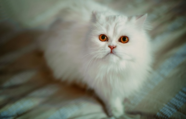 Picture cat, look, fluffy, Persian cat, white cat