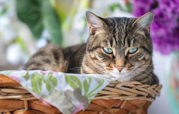 Picture cat, cat, look, basket, muzzle, bokeh, cat