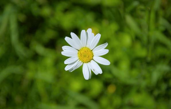 Picture summer, macro, nature, minimalism, Daisy