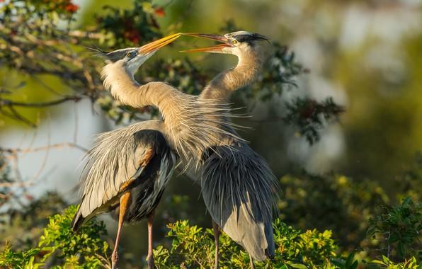 Picture birds, pair, herons
