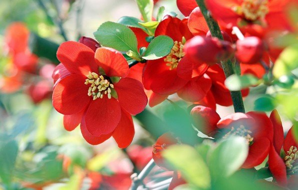 the japanece quince Beautiful and fragrant scarlet flowers that bloom in early spring this tough shrub adapts to many different soil conditions making it easy to grow.