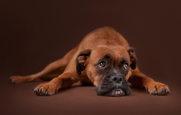 Picture sadness, look, face, background, portrait, dog, Boxer