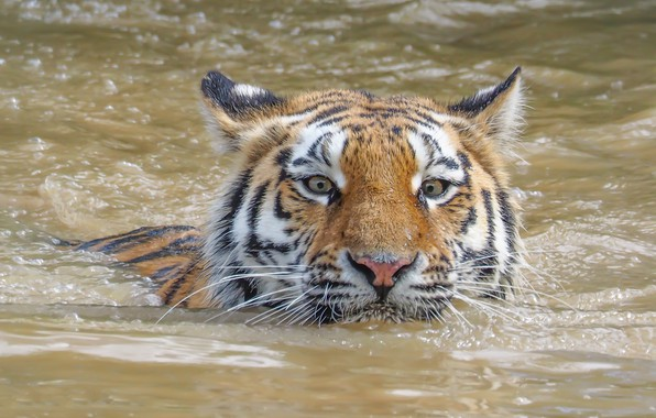 Picture look, face, water, tiger, swimmer, wild cat
