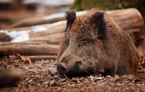 Picture boar, wild pig, boar